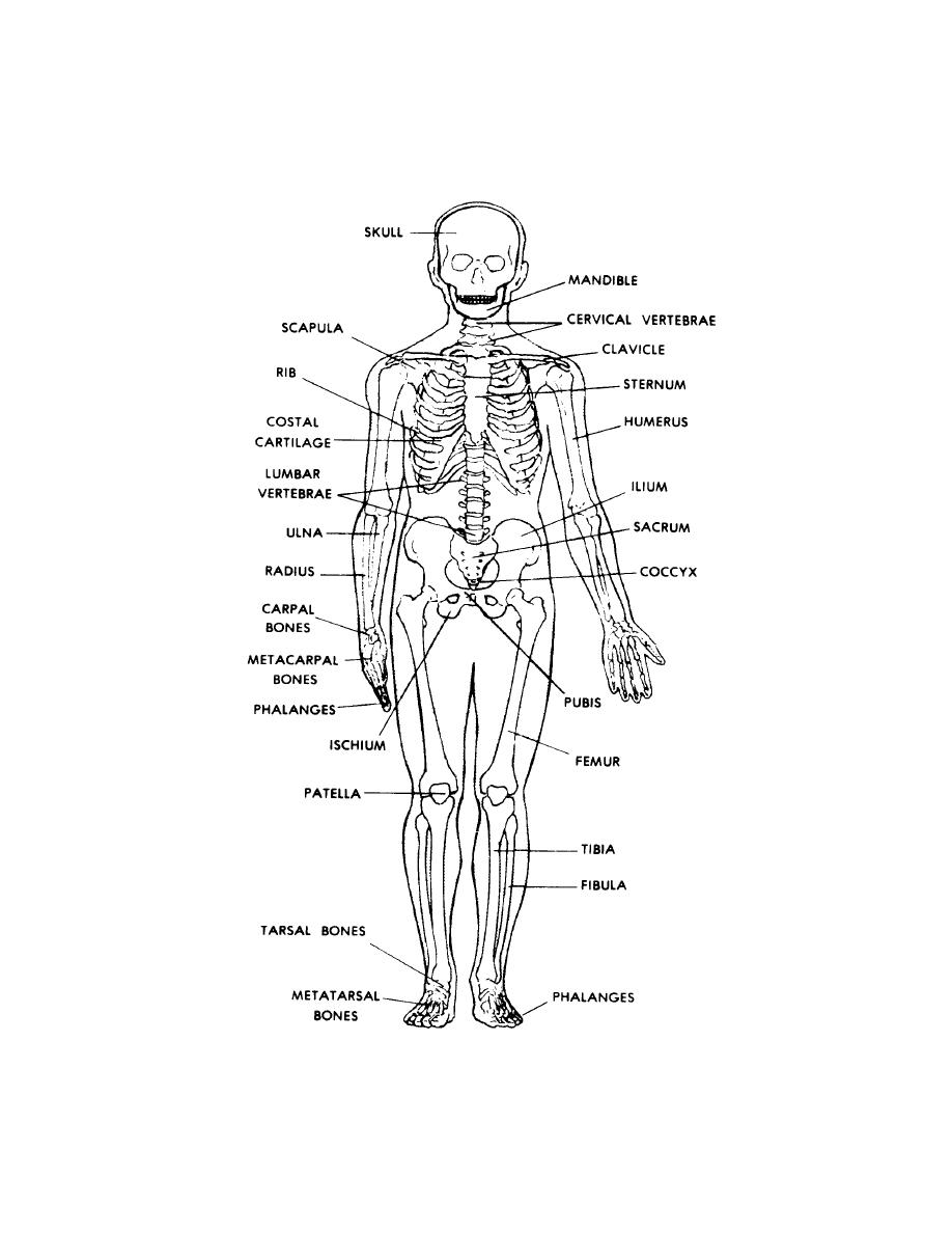 Figure 4 4 Anterior View Of The Human Skeleton Basic Human