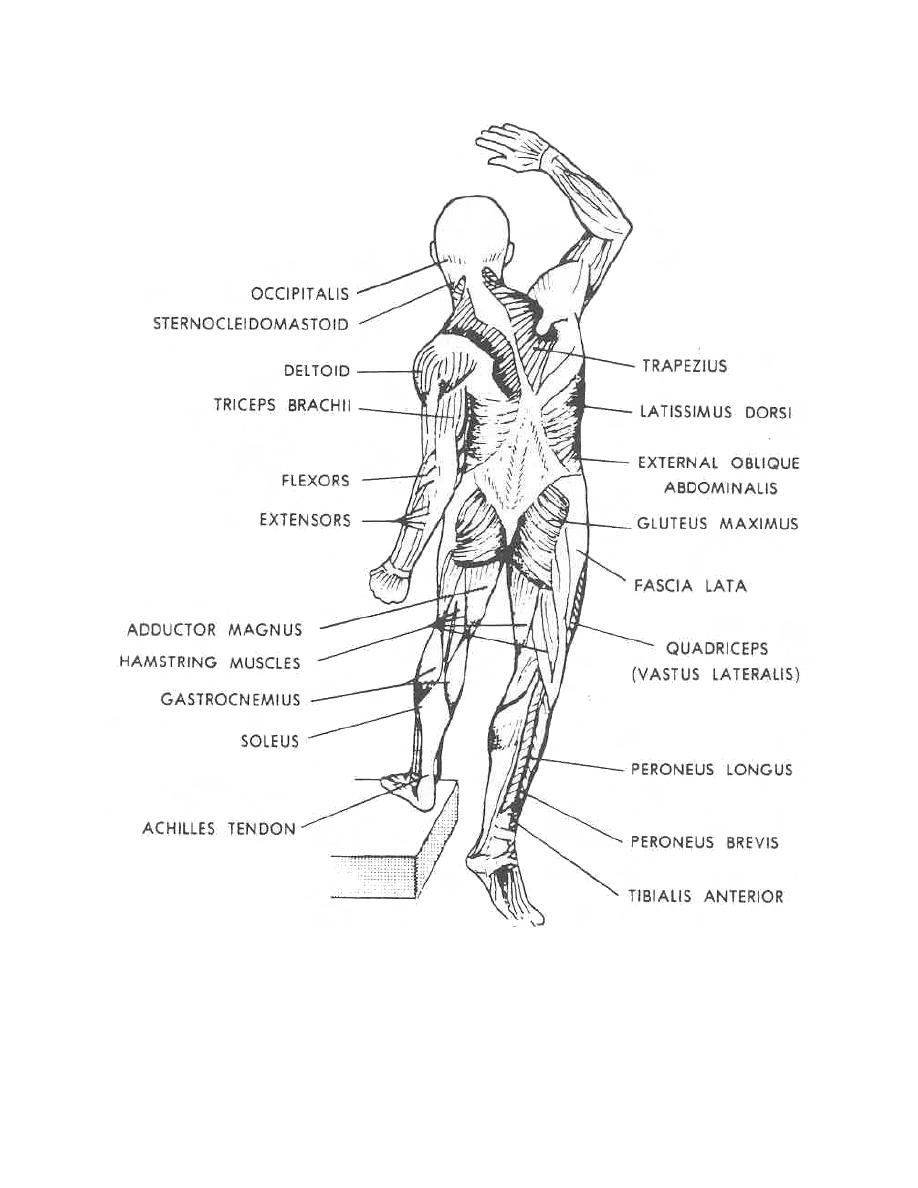figure 1-6  skeletal and facial muscles  posterior view