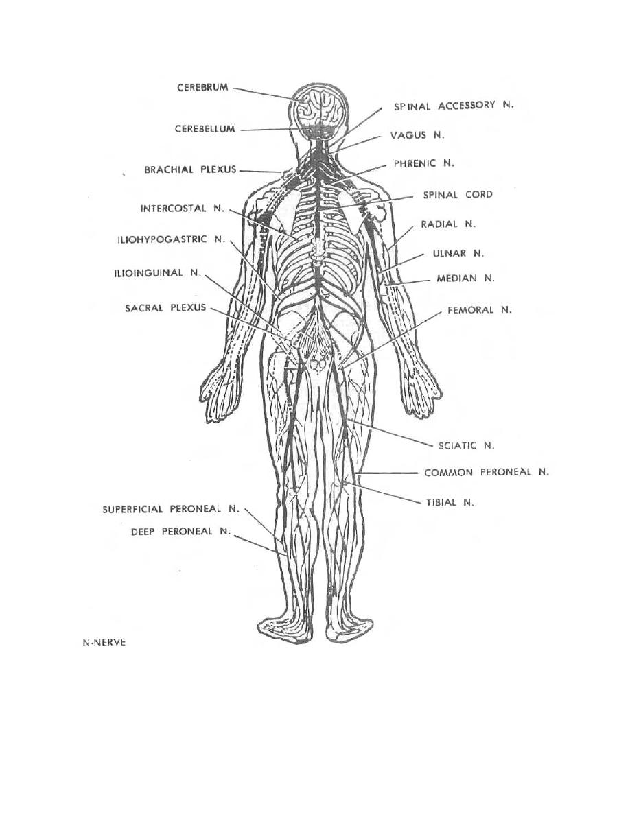 Figure 1-14. Peripheral nervous system. - Dental Anatomy and Physiology
