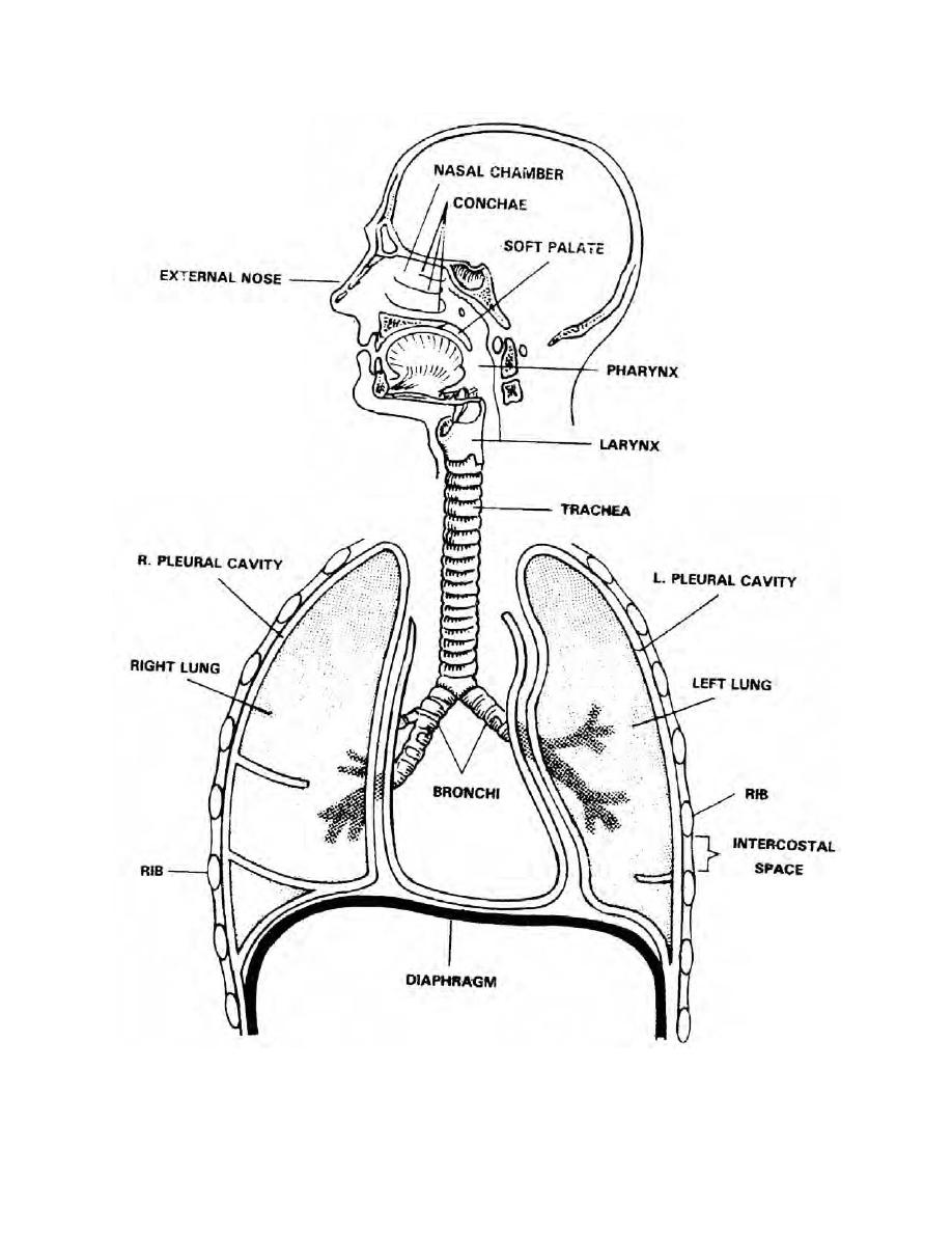 Figure 1-1. The human respiratory system. - Management of Patients ...