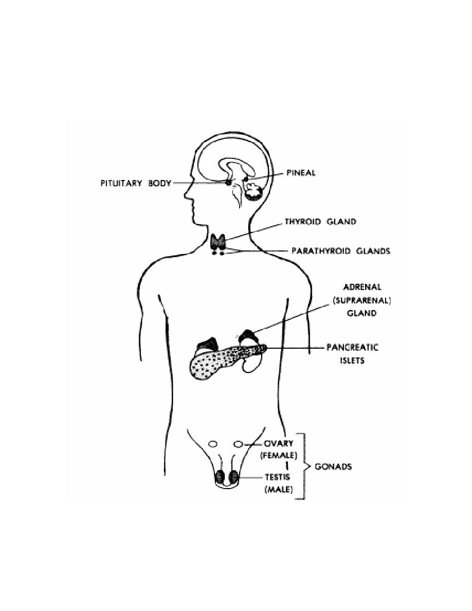 Figure 6 1 the endocrine glands of the human body and their the endocrine glands of the human body and their locations pharmacology iv ccuart Choice Image
