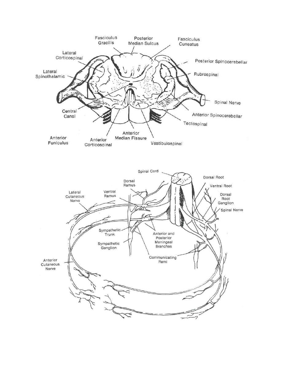 the spinal cord anatomy and physiology of the spinal cord Spinal Cord Tracts pictures of anatomy and physiology of the spinal cord