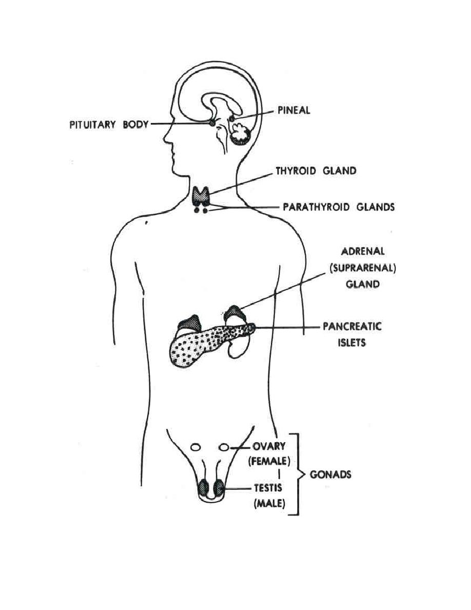 figure 220  endocrine glands