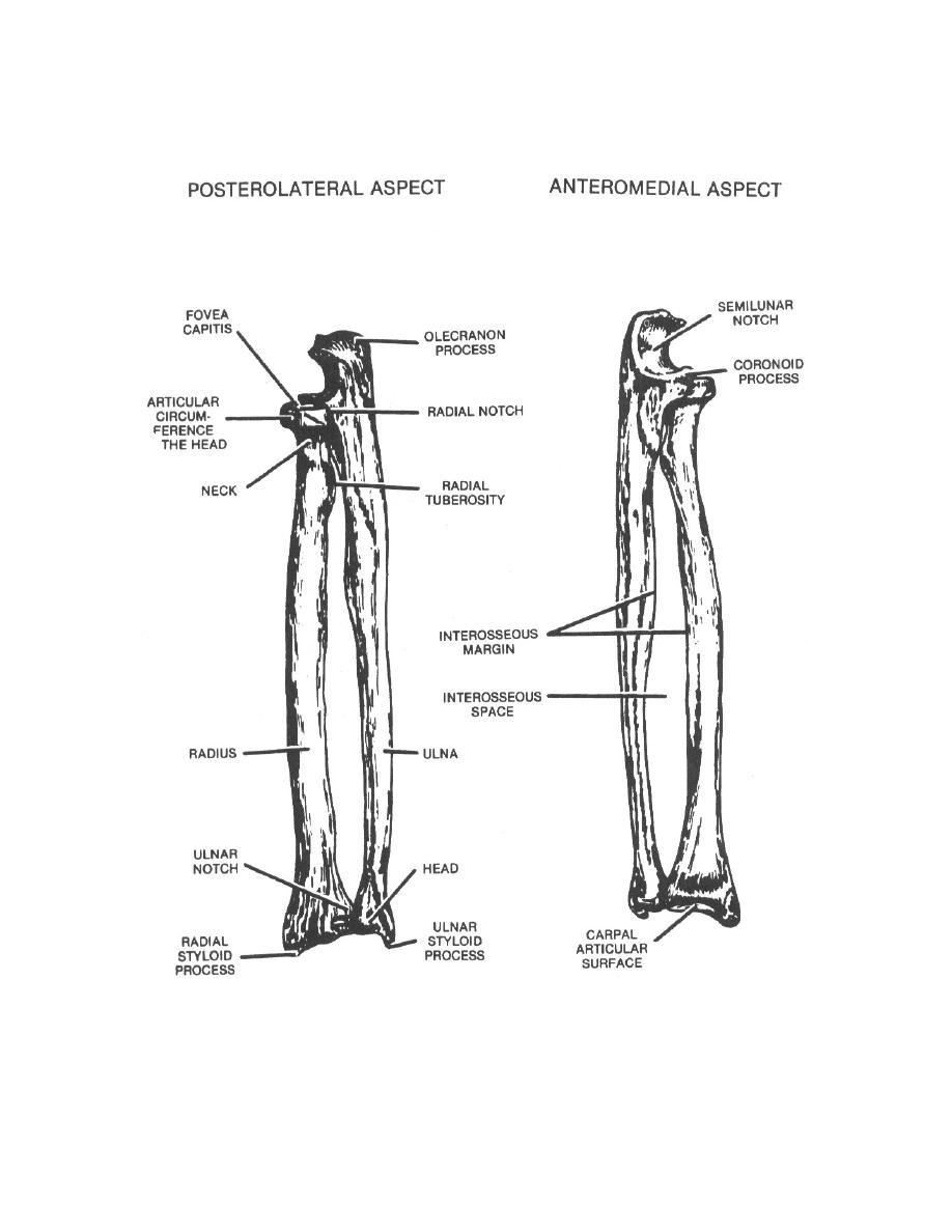 Figure 2-2. The left radius and ulna (posterolateral and ...
