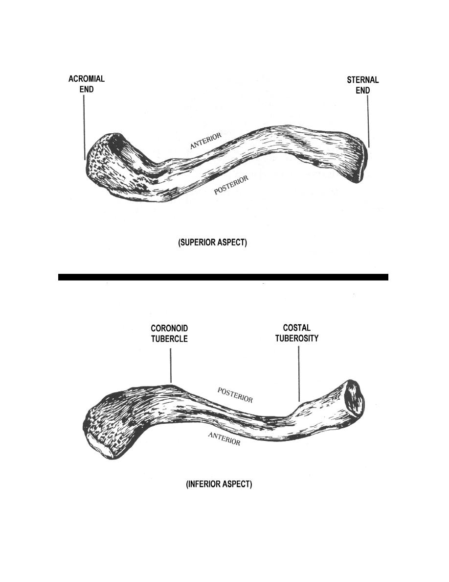 Figure 2-7. The left clavicle (superior and inferior aspects ...