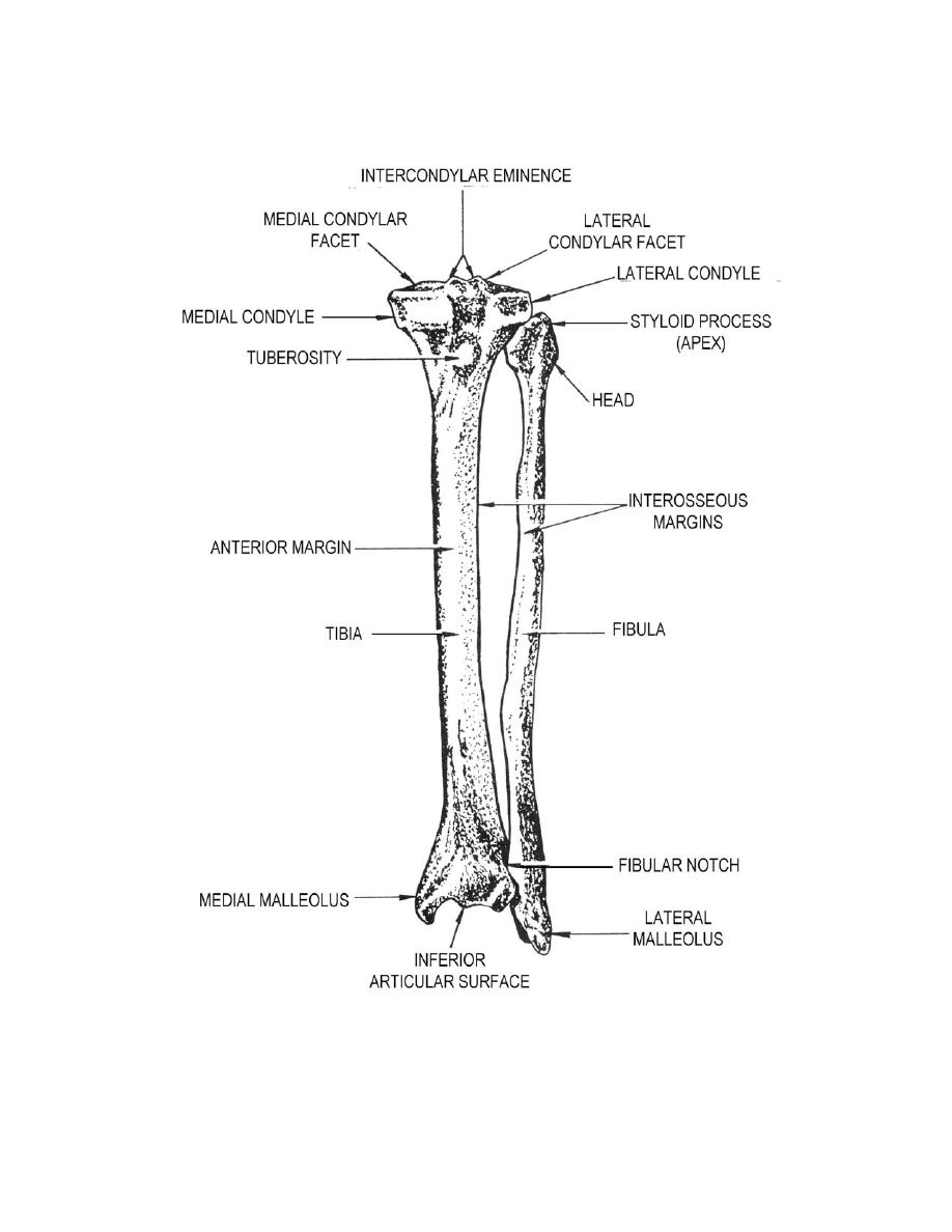 Figure 2-12. Left tibia and fibula (anterior aspect). - Anatomy for ...