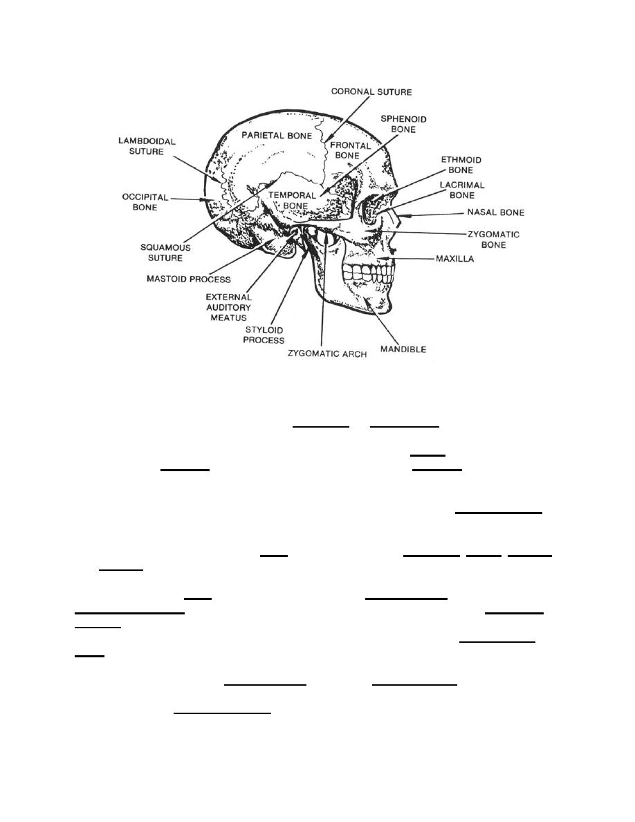 Figure 2-36. Suture joints of the skull (lateral aspect). - Anatomy ...