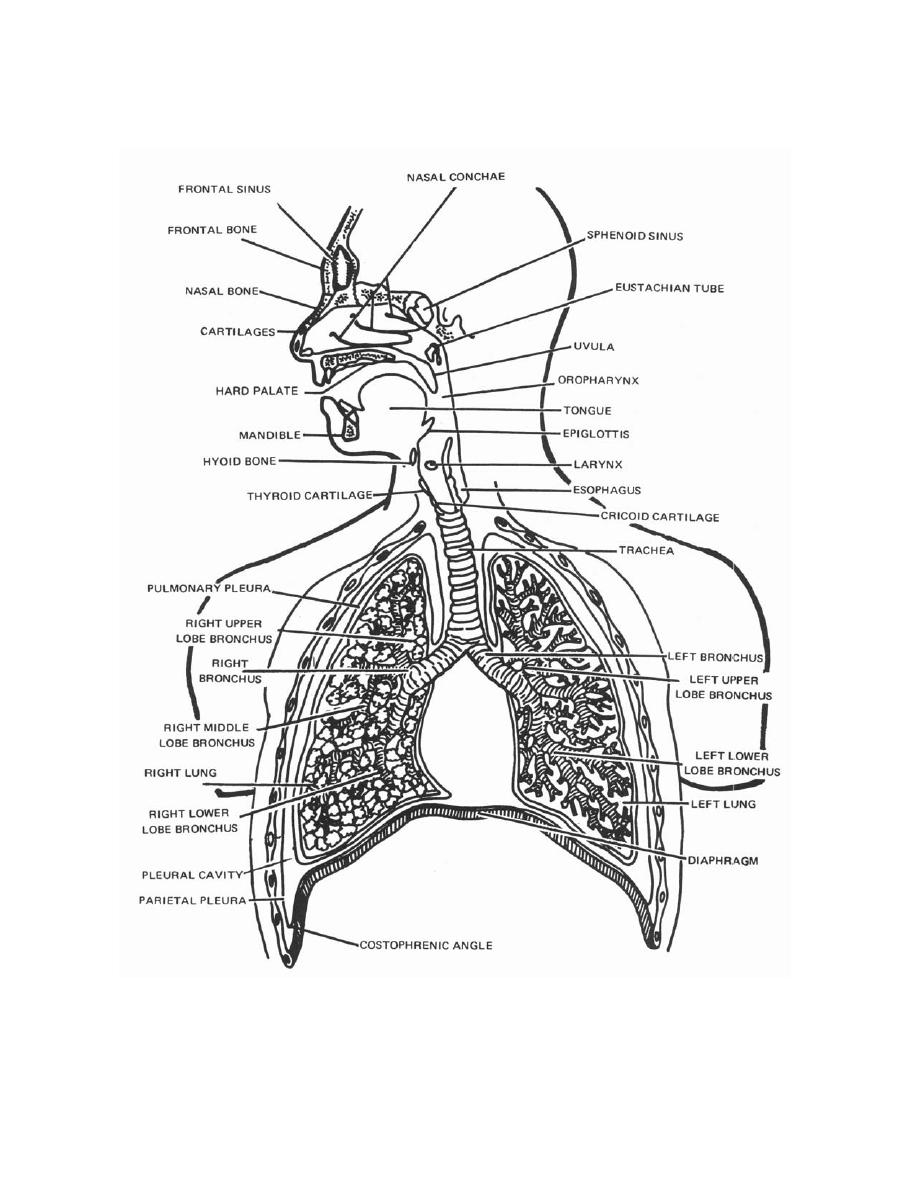 Figure 3 15 the respiratory system anatomy for x ray specialists the respiratory system anatomy for x ray specialists ccuart Choice Image