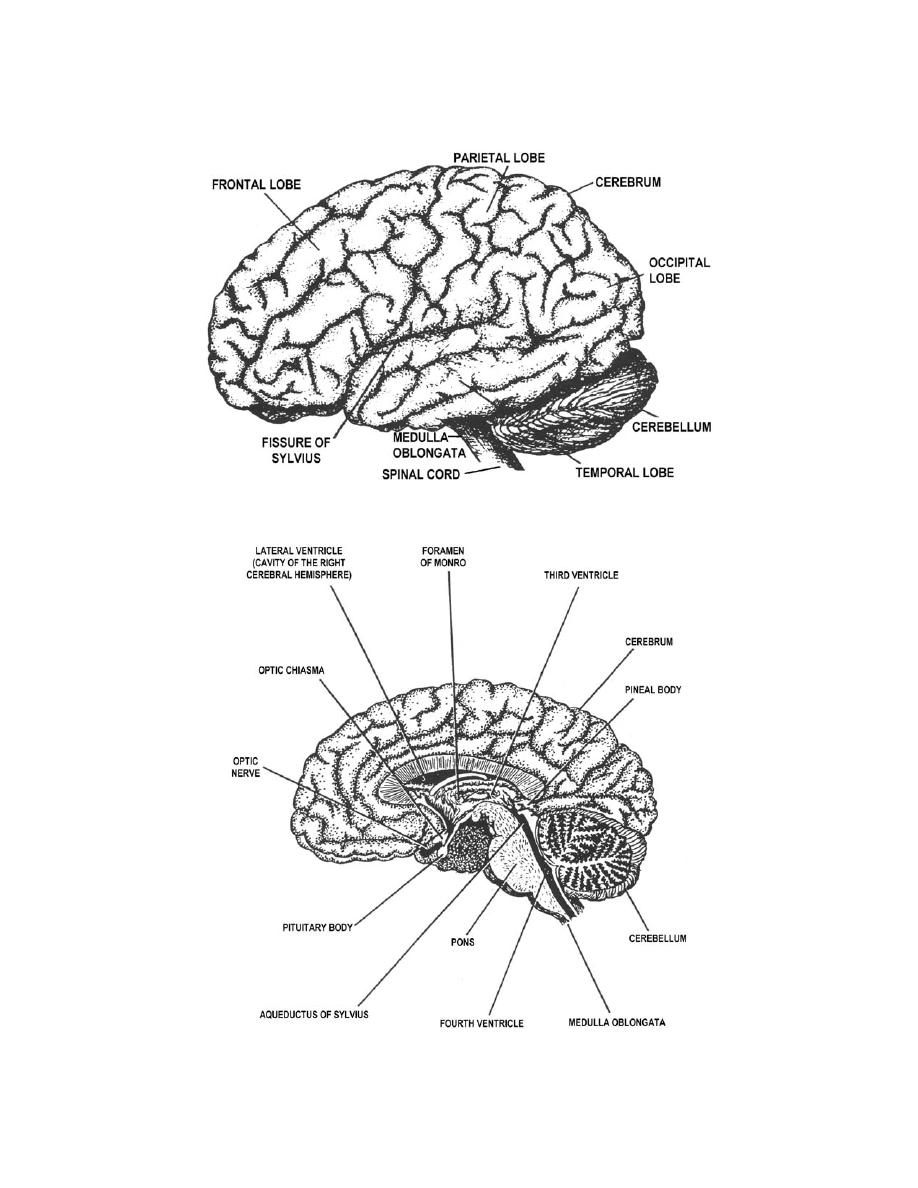 Figure 3-19. The human brain (sagittal section). - Anatomy for X-Ray ...