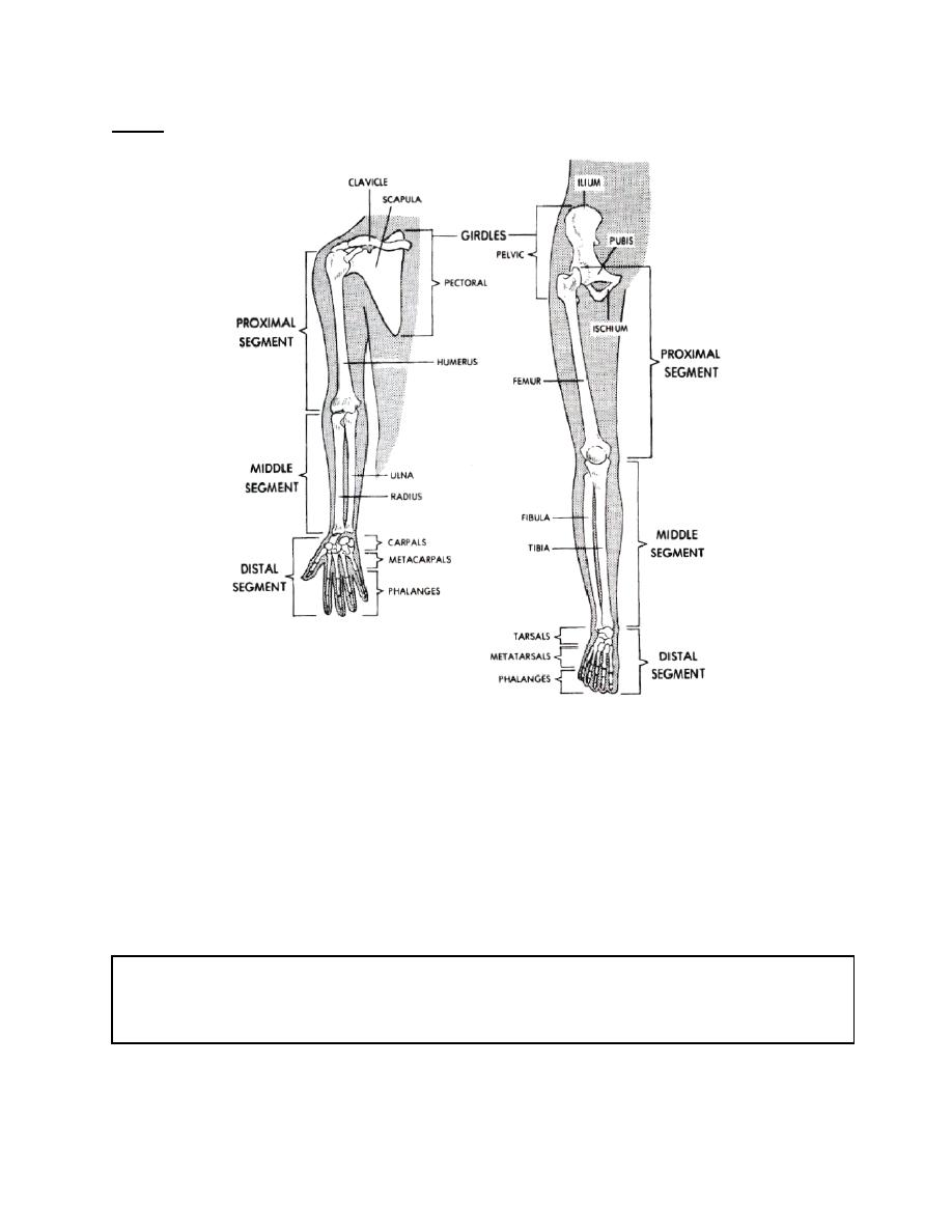 Figure 3-17. Proximal and distal segments of the arm and leg ...