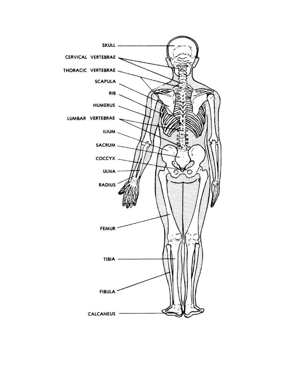 figure 4-3b. posterior view of the human skeleton. - basic human anatomy
