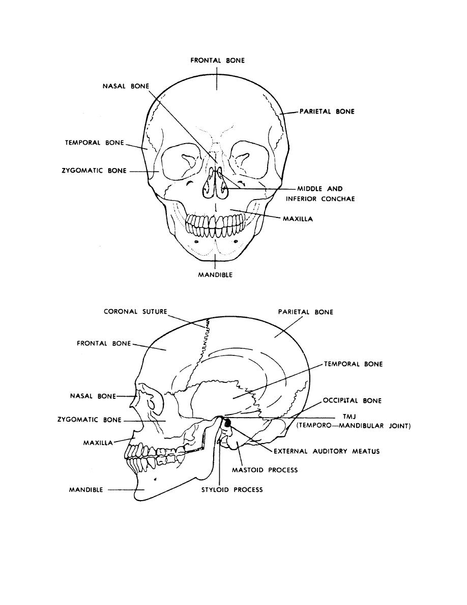 Figure 4 6 The Human Skull Front And Side Views Basic Human