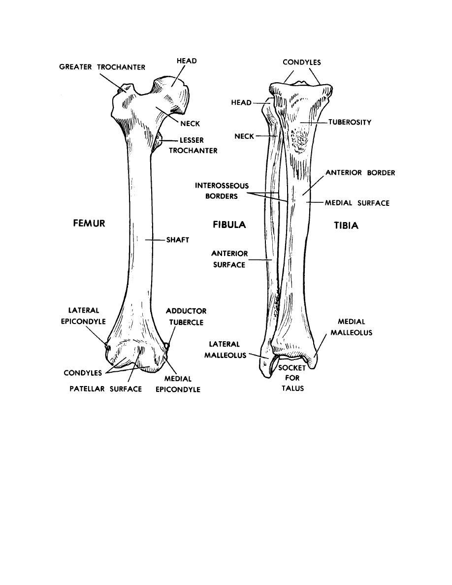 Figure 4-12. The femur, tibia, and fibula (anterior views). - Basic ...
