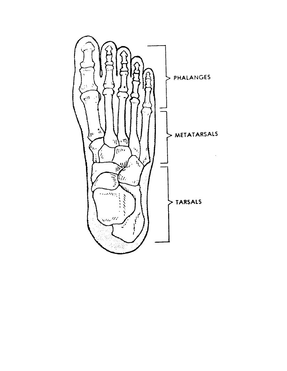 figure 4-13  the human foot