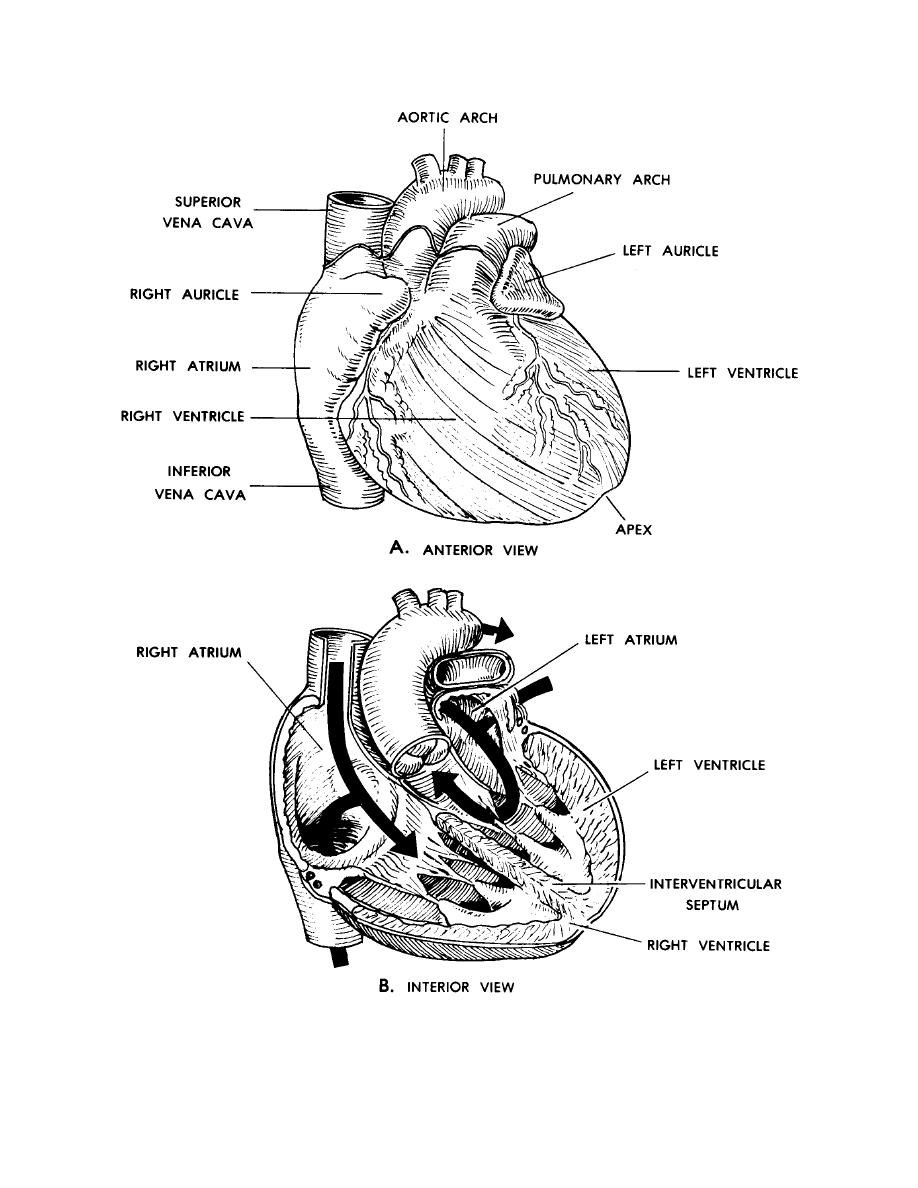 Anatomy Coloring Book For Health Professionals : Heart anatomy coloring pages images pictures becuo
