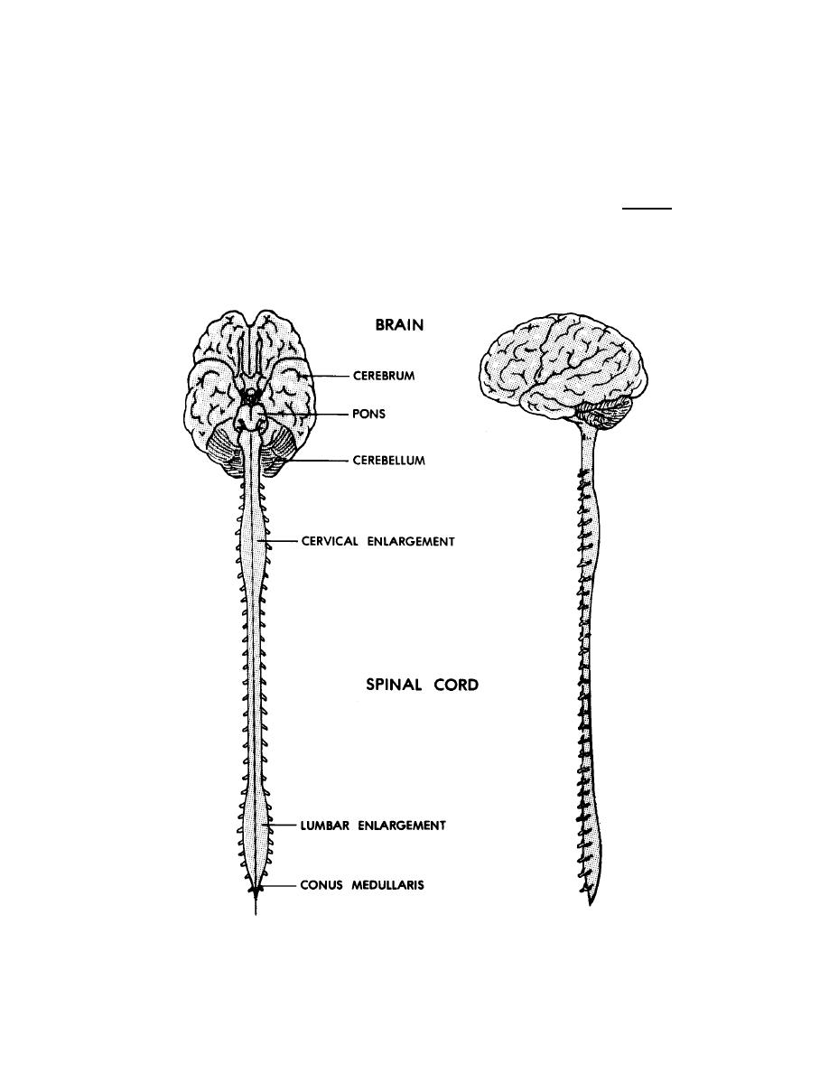 Figure 11-4. The human central nervous system. - Basic Human Anatomy