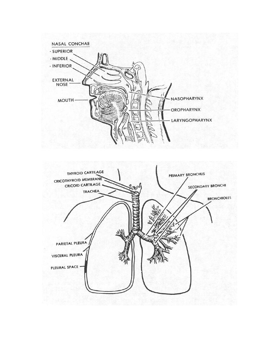 figure 2-1. the human respiratory system. - nursing care