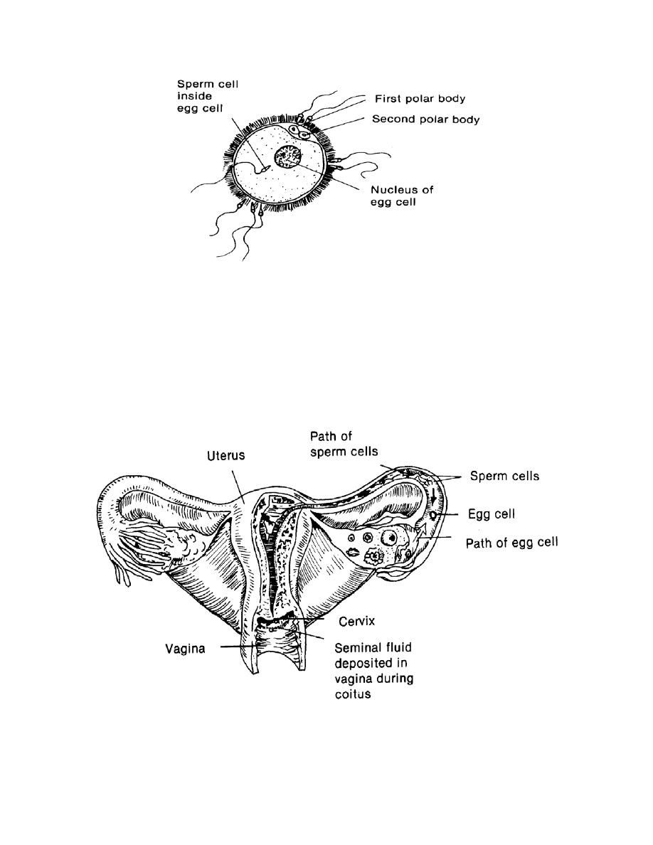 figure 2-2  sperm and ovum