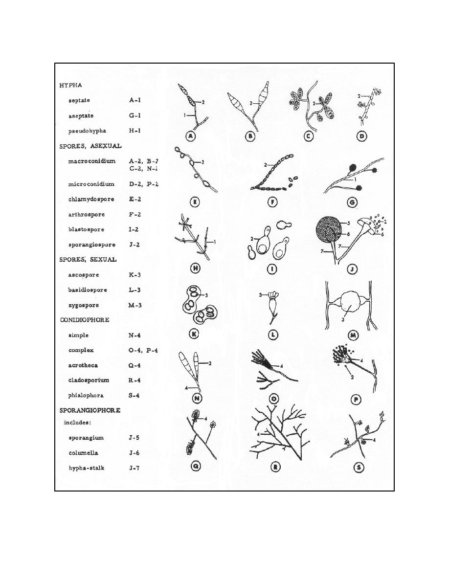 Chytridiomycota Characteristics http://www.red-grey.co.uk/general/characteristics-of-fungi.html