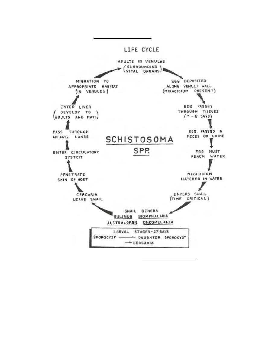 Figure 3-12. Life cycle of Schistosoma mansoni.
